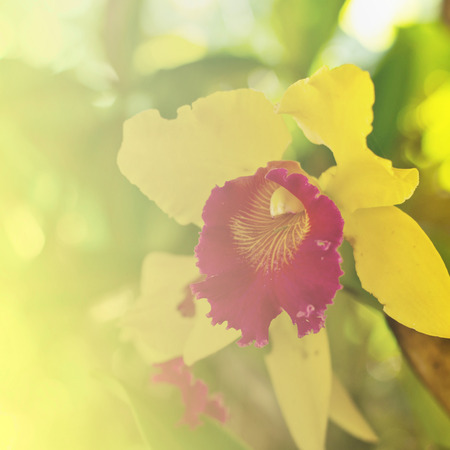 cattleya orchid: Cattleya orchid on nature background