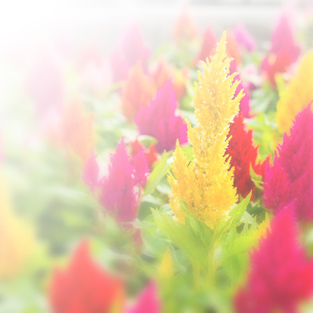 celosia: plumped celosia flower on nature background