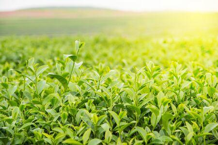 Sunlight to leaf in green tea farm