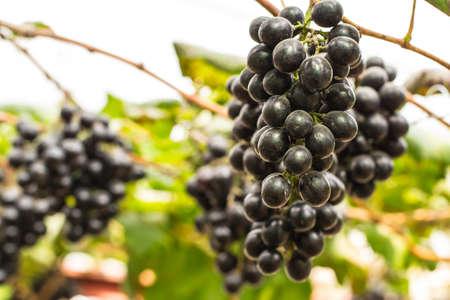 fresh grapes fruits in summer sunlight