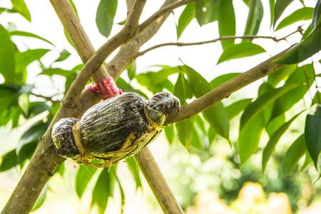 Enten op mangoboomtak Stockfoto