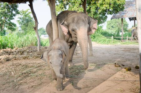 baby elephant: Thai elephant at the Elephant Village Thailand.