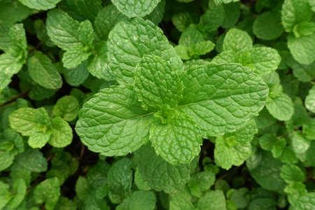 Fresh Green Mint Plants Vegetable In Organic Farming Stock Photo ...