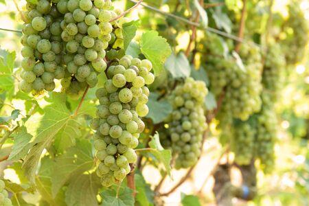 Wijnstok en tros witte druiven in de tuin Stockfoto