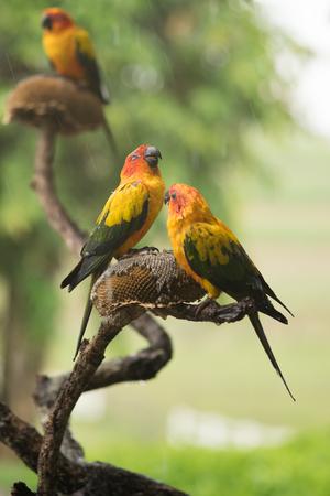 sotto la pioggia: Parrot sotto la pioggia