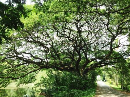 samanea saman: Rain tree or samanea saman