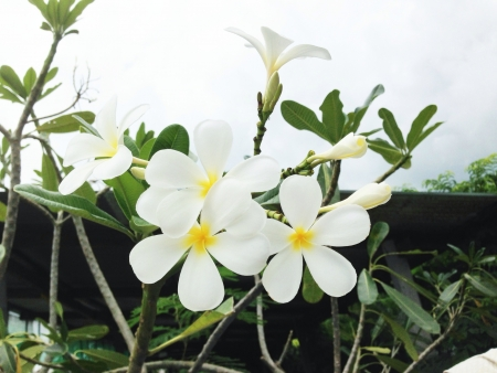 plumerias: Plumeria