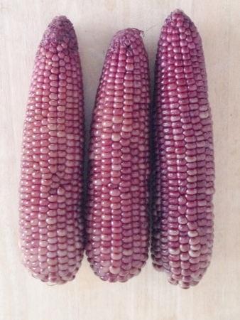 zea: Purple corn or zea mays l. Ceratina Stock Photo