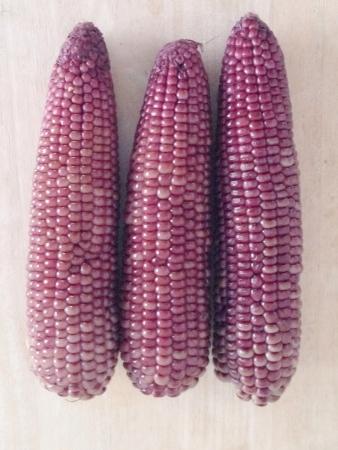 zea: Purple corn or zea mays l. Ceratina Stock Photo