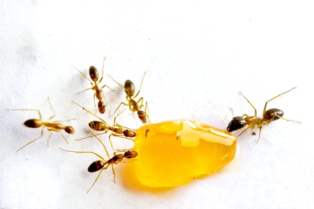 ants: Macro picture of a black ant eating candy on white background Stock Photo