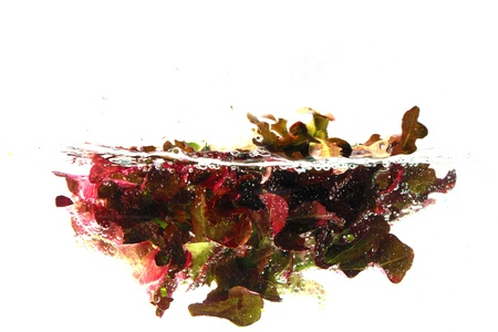 Fresh red oak lettuce salad leaves falls under water with a splash  isolated on white background photo