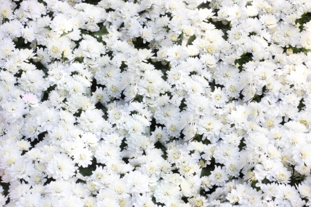 White chrysanthemum flowers photo