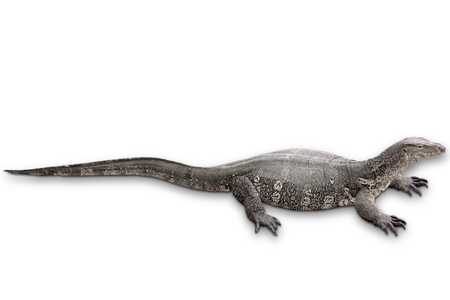 Asian water monitor isolated on white background with clipping path