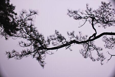 Pine on white photo