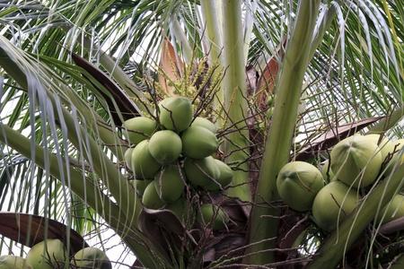 Green Coconut at Sirikit park in Bangkok, Thailand. photo