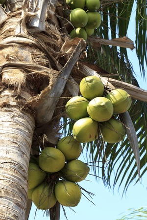 Coconut tree on the beach at Kohlarn, thailand. photo
