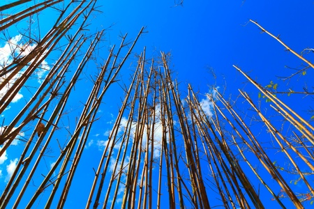 Bamboo trees grow up to blue sky and cross each other.