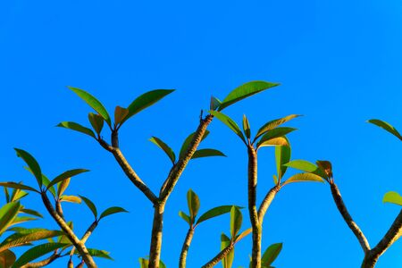 Leaves and branches of the frangipani tree. Stock Photo - 13597671