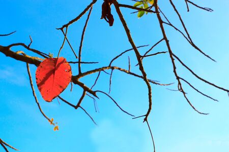 Red leaves and twigs to light the evening. Stock Photo - 13597812