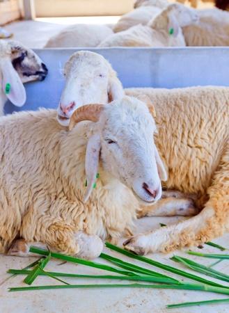 Sheep was sleeping in animal farming. Stock Photo