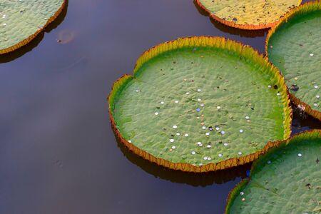 Very large lotus leaves floating on water. photo