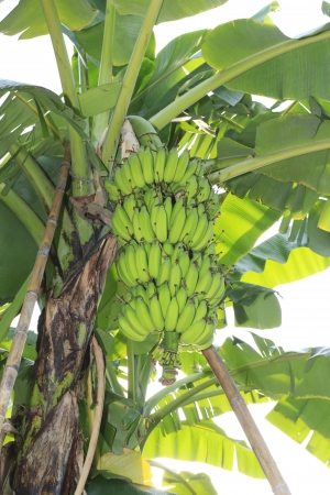 Close up shot of a Banana tree with a bunch of bananas  photo