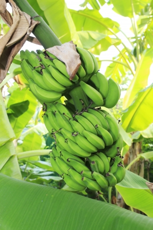 Close up shot of a Banana tree with a bunch of bananas. photo