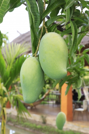 Close-up of mangoes on the branch of a tree. photo
