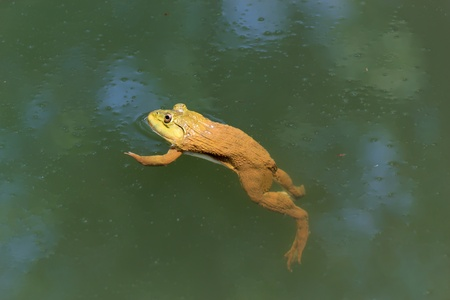 The brown frog live in a pond. photo