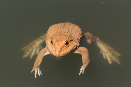 The brown frog live in a pond. Stock Photo - 15051849
