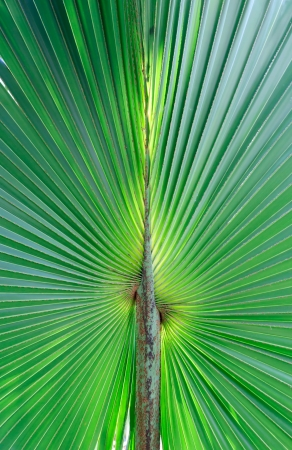 Stalk of the palm leaves, can be used as background. Stock Photo - 15052135