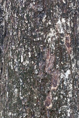 Texture shot of brown tree bark, closeup of cracked tree trunk. photo