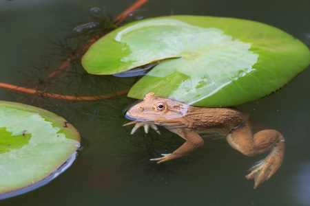 The frog in a pond with lotus leaves. photo