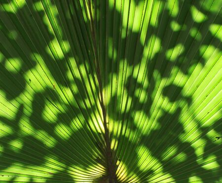 Stalk of the palm leaves, can be used as background. Stock Photo - 16505515