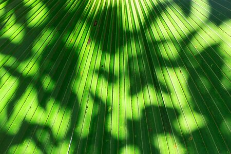 Stalk of the palm leaves, can be used as background. Stock Photo - 16505619