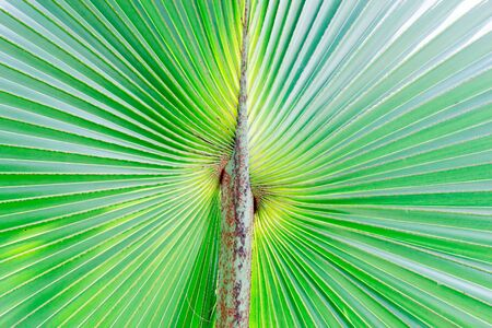 Stalk of the palm leaves, can be used as background. Stock Photo - 16505523