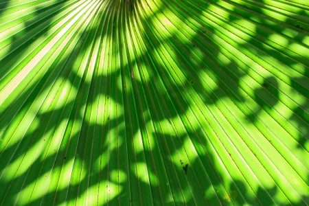 Stalk of the palm leaves, can be used as background. photo