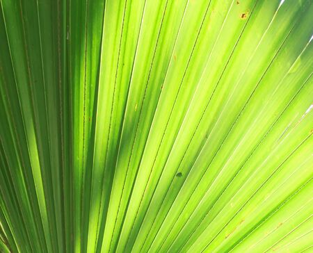 Stalk of the palm leaves, can be used as background. Stock Photo - 16505495