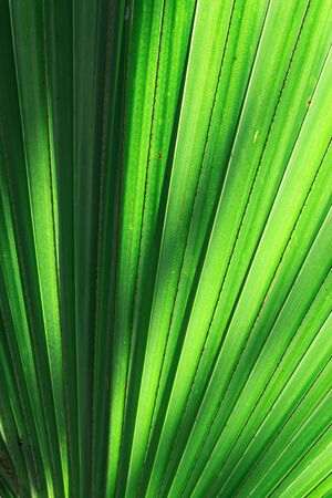 Stalk of the palm leaves, can be used as background  photo