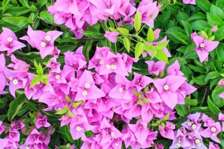 The purple pink bougainvillea flower with green leaves. photo