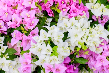 The purple pink bougainvillea flower with green leaves. Stock Photo - 17267233