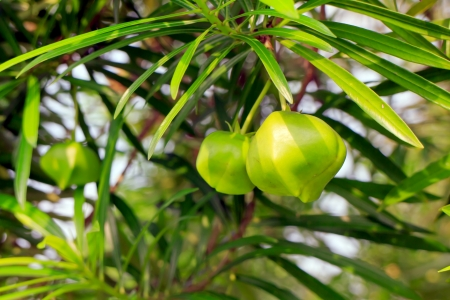 Thevetia peruviana seed fresh green and leaves green background. photo