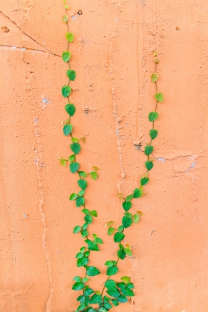 The green creeper plant on a wall creates a beautiful background. photo