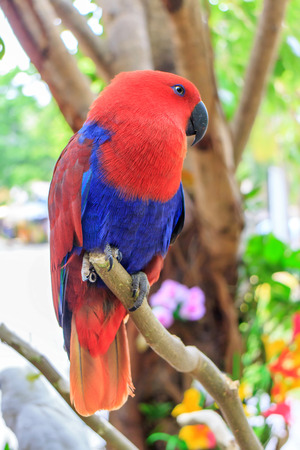 eclectus roratus: Beautiful Eclectus Parrot (Eclectus roratus) on branches in Zoo Khao Kheow, Thailand. Stock Photo