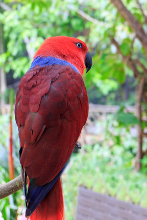 eclectus: Beautiful Eclectus Parrot (Eclectus roratus) on branches in Zoo Khao Kheow, Thailand. Stock Photo