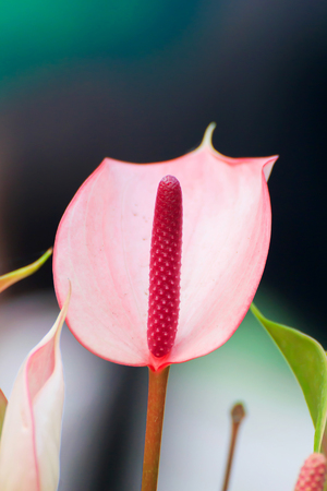 Red Anthurium flower and fresh by shooting closeup.