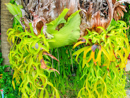pinnately: Big staghorn ferns hanging on the rope.