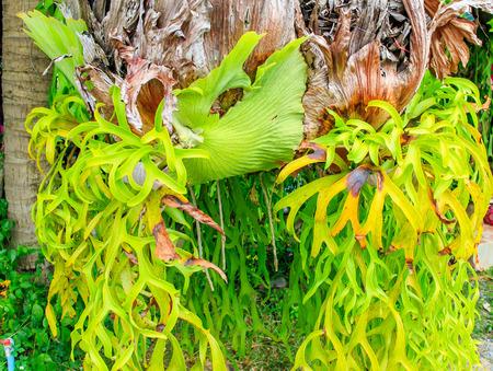 pinnately: Grandi felci staghorn appeso sulla corda. Archivio Fotografico