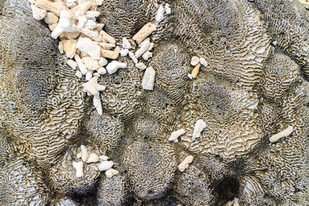 brain coral: Abstract background - the brain coral close-up