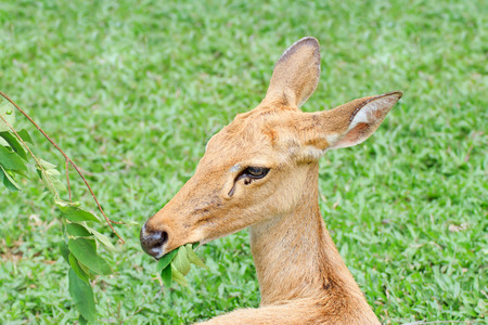 Female antelope in a Khao Kheow Zoo, Chonburi in thailand. photo